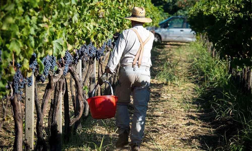 Etna raccolta uva - Ätna Weinlese - Etna grape harvest